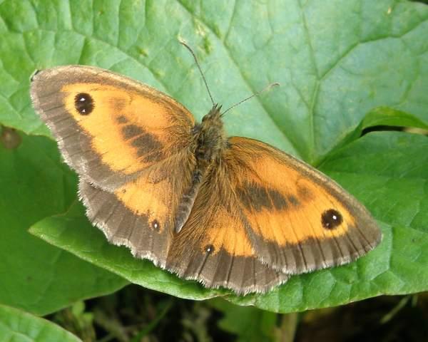 Gatekeeper Butterfly, Pyronia tithonus, identification guide