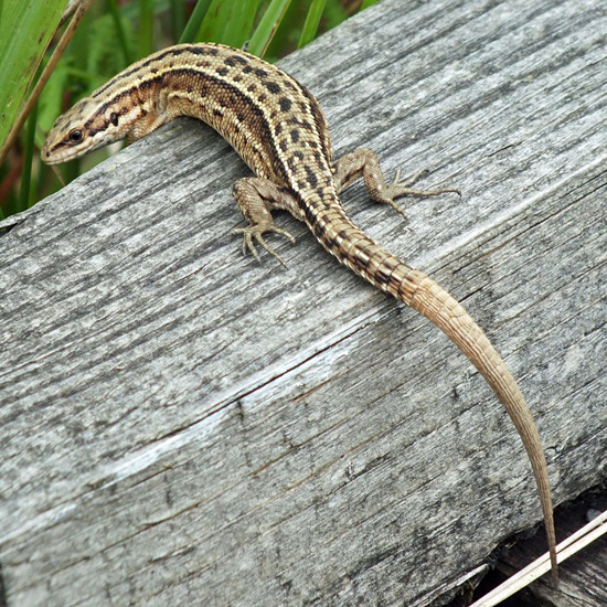 List of reptiles of Texas - Wikipedia