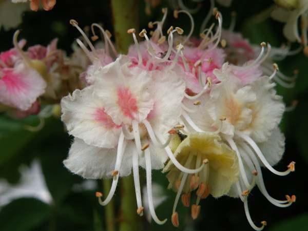 Aesculus hippocastaneum horse chestnutidentification guide blossom of the horse chestnut tree mightylinksfo