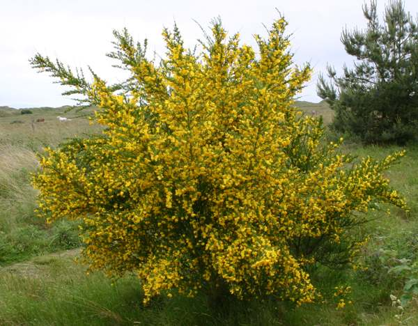 Cytisus Scoparius Broom Identification Guide