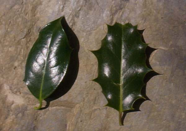 Ilex Aquifolium Holly Identification Guide