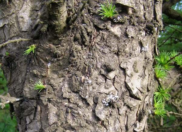 Larix Decidua, European Larch, Identification Guide