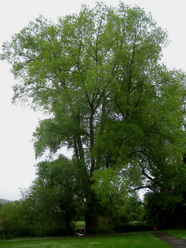 Populus Nigra Black Poplar Identification Guide