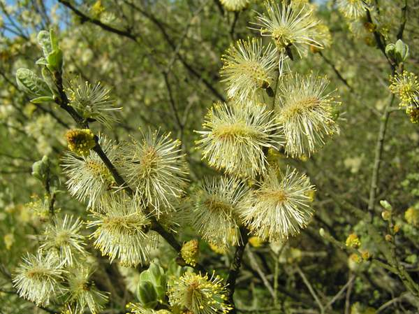 Male flowers of the Goat Willow
