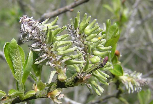 Salix Caprea Goat Willow Identification Guide