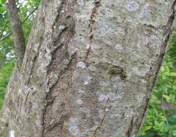 Bark of a young Goat Willow