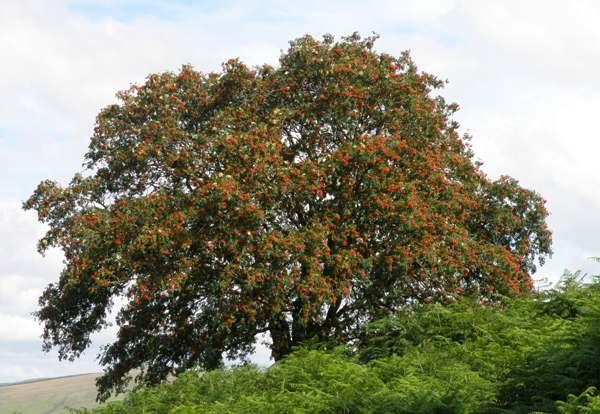 Rowan Family Medicine >> Sorbus aucuparia, Rowan, identification guide