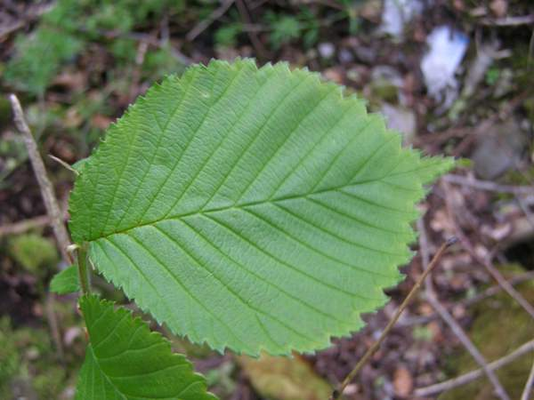 Leaves of Wych Elm